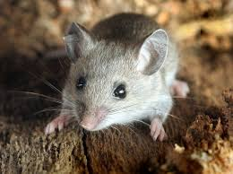 House Mice VS Deer Mice : How to Identify and Keep Them Away From Home?
