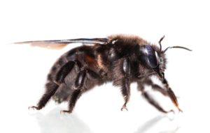 Black Bee Types – Get Rid of Black Bees