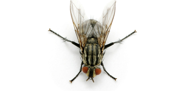 How to Get Rid of Cluster Flies Naturally?