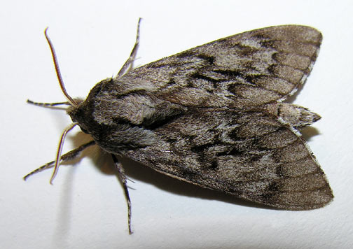 house-moth