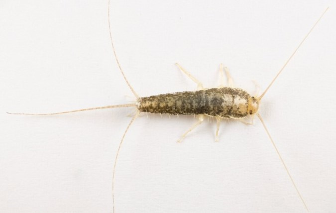 Do Silverfish Bite and How It Can Be Treated