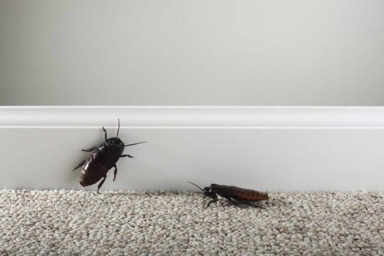 Palmetto Bug Vs Cockroach – Get Rid of Palmetto Bug