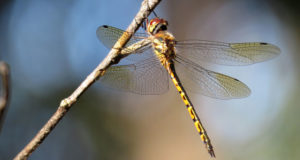 Do Dragonflies Bite or Sting?