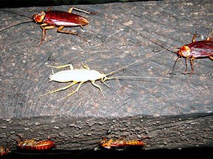White Roaches Danger and Control